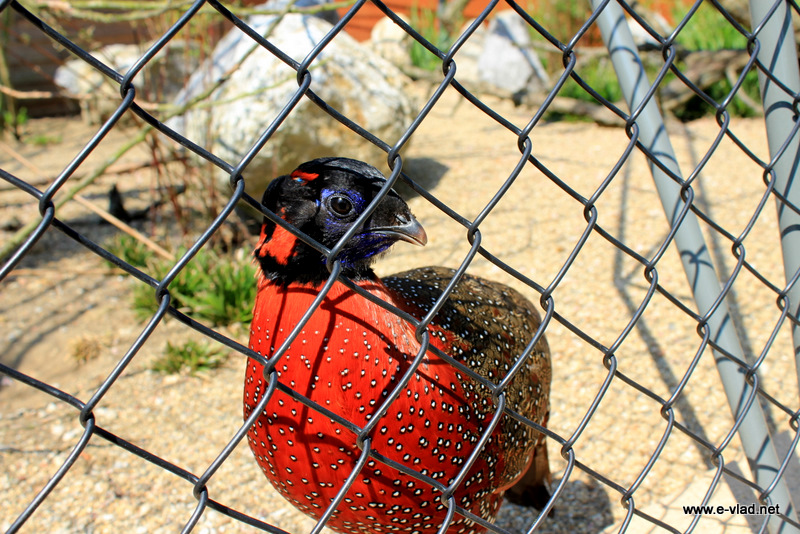 Huizingen Domain, Beersel, Belgium - Beautiful red bird on display at Huizingen Domain animal park.