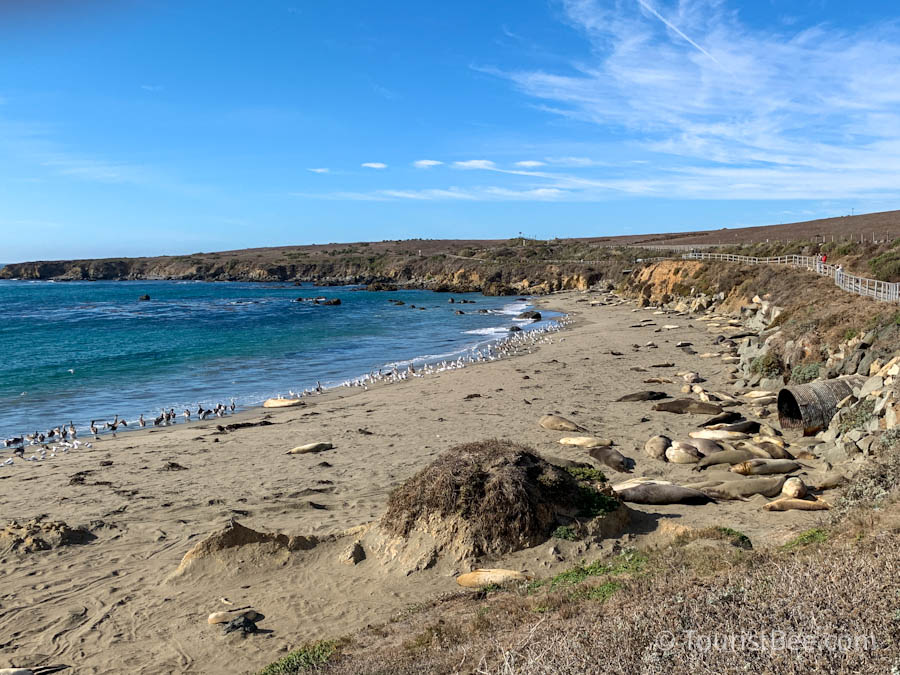 The San Simeon Elephant Seal Rookery is one of the best things to do in Cambria