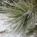Mount Pinos snow play areas thumbnail