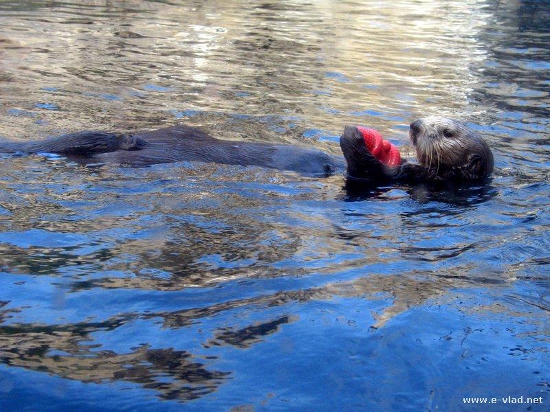 A sea otter playing at the Monterey Aquarium in Monterey, California.