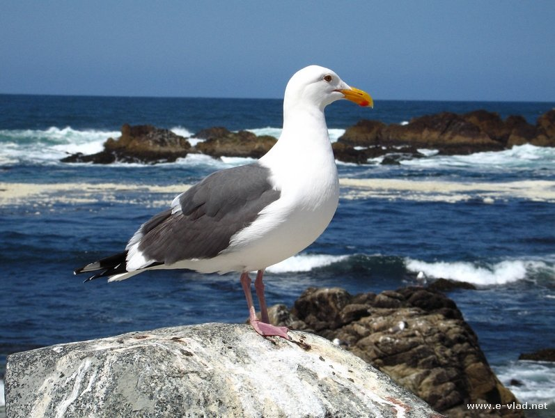 A lonely seagull on the 17 mile drive in Monterey, California.