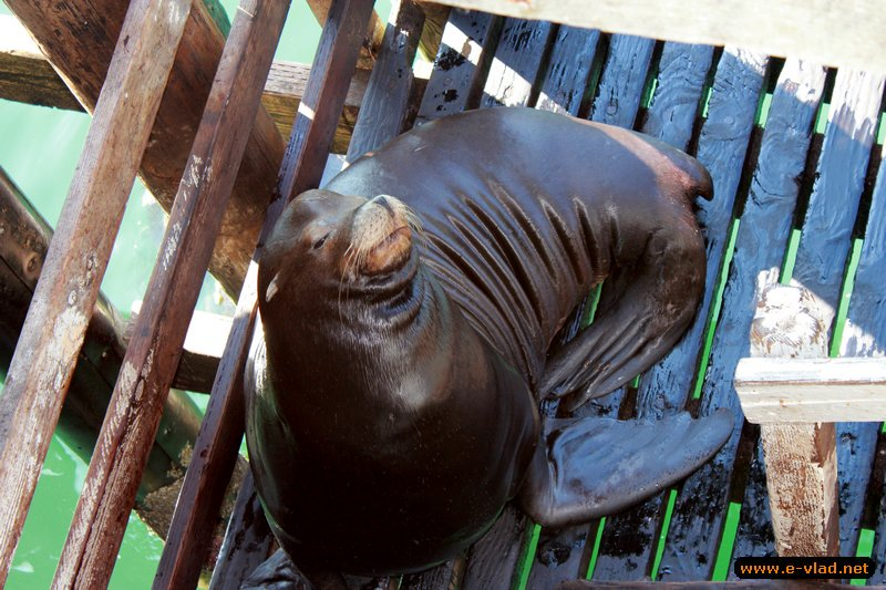 Port San Luis, California - Sea lions basking in the sun on the specially constructed deck at Port San Luis pier.