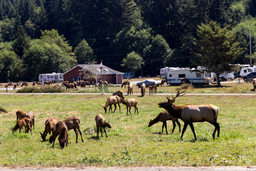 Elk Meadow - A herd of elks grazing right by the road