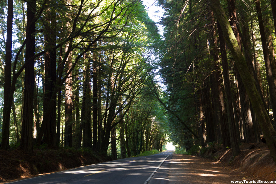 Avenue of the Giants, California - Starting at the north side of Avenue of the Giants, the redwood forest covers the road.
