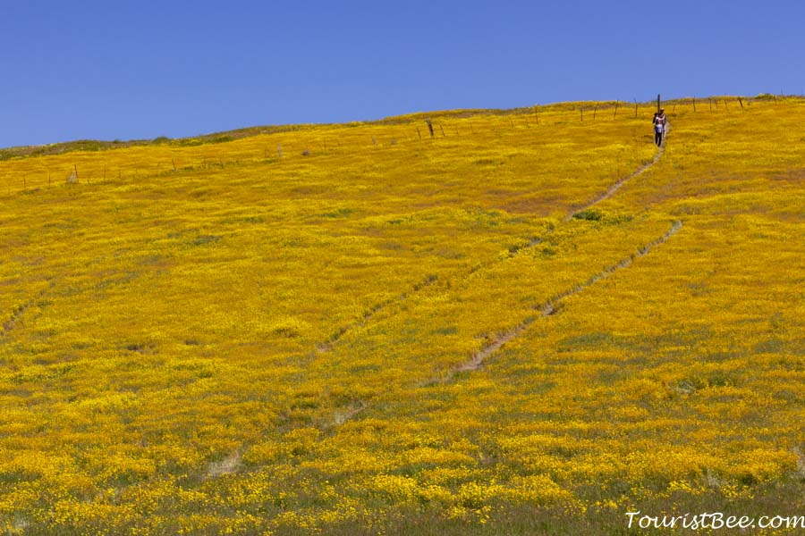 Carizzo Plain National Monument - People walking through the middle of a large patch of yellow wild flowers