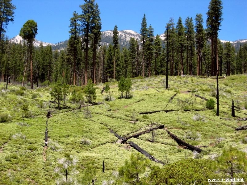 Kings Canyon National Park, California - Burned out tree trunks have fallen on new grass.