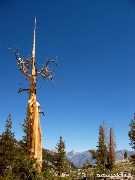 Kings Canyon National Park, California- Lonely tree that has survived a recent fire.