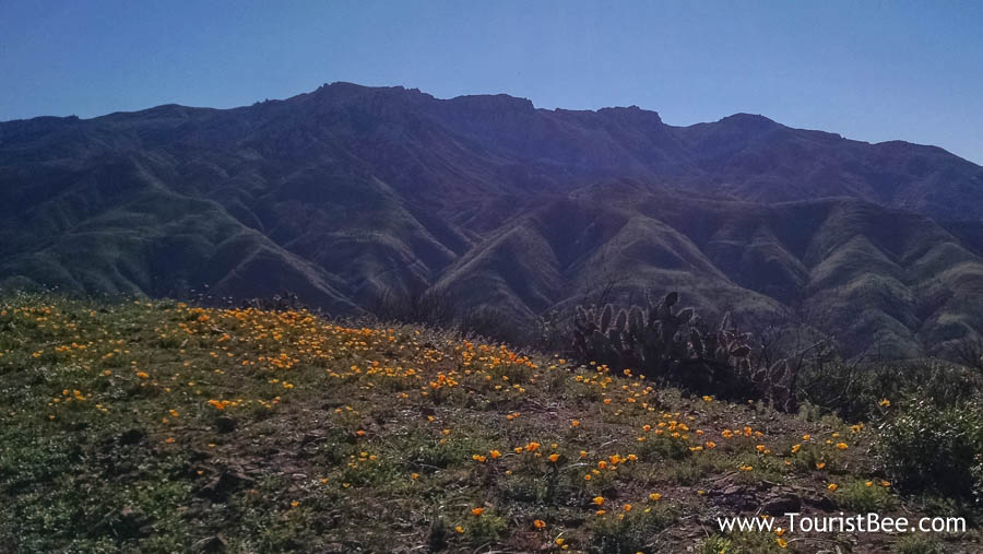 Point Mugu State Park - A large patch of golden California poppies with Boney Mountain in the background