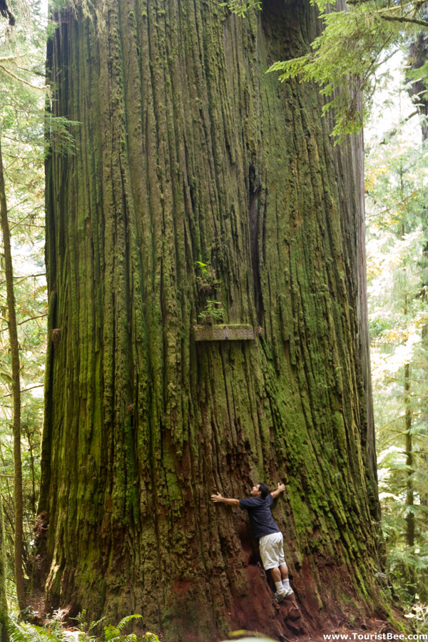 Jedediah Smith Redwoods State Park - The huge trunk of the Boyscout Tree is a great example of how wide the giant redwood trees can get