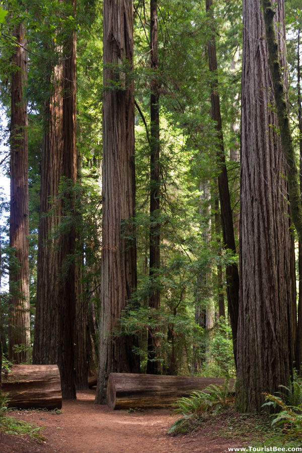The Stout Grove inside Jedediah Smith Redwood State Park is an amazing place to walk