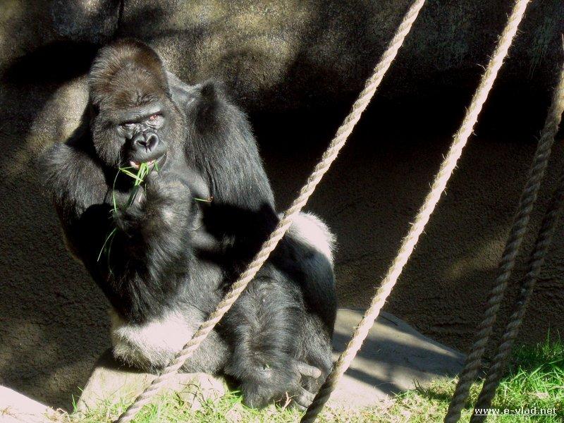 Gorilla at the Santa Barbara Zoo in Santa Barbara California.