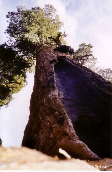 A Sequoia tree that has survived a real fire in Sequoia National Park, California.
