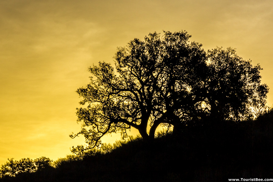 Thousand Oaks California Conejo Valley Botanical Garden Beautiful Oak Tree On The Hill At