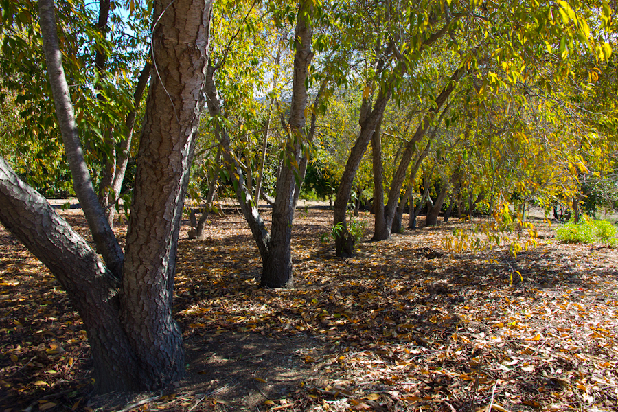 thousand oaks california beautiful trees with colorful foliage at thousand oaks botanical garden