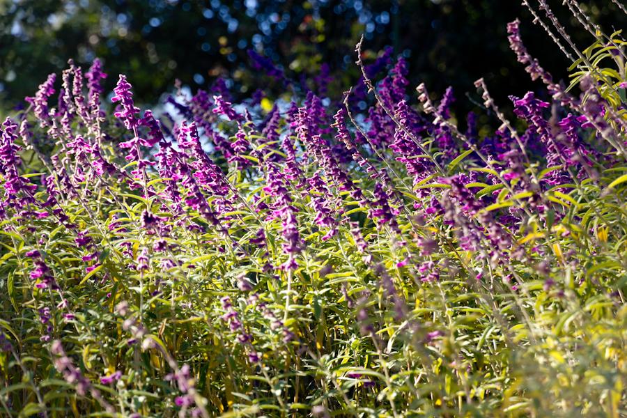 Thousand Oaks California Lavender Flower Closeup