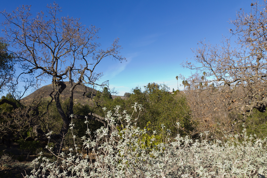 Thousand Oaks California Lavender Plants At Conejo Botanical Gardens