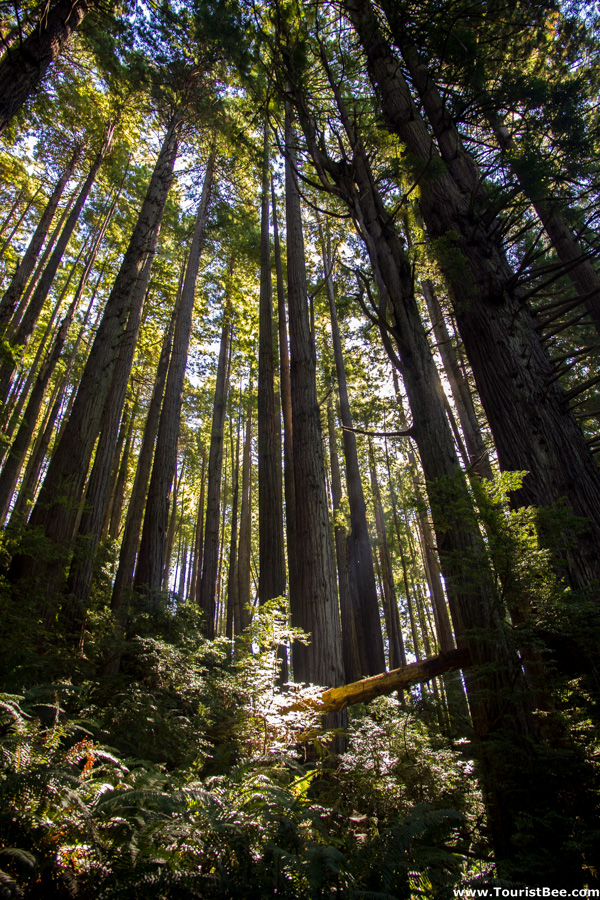 Trees of Mystery, Klamath - Beautiful young Redwood trees on the Trail of Mysterious Trees