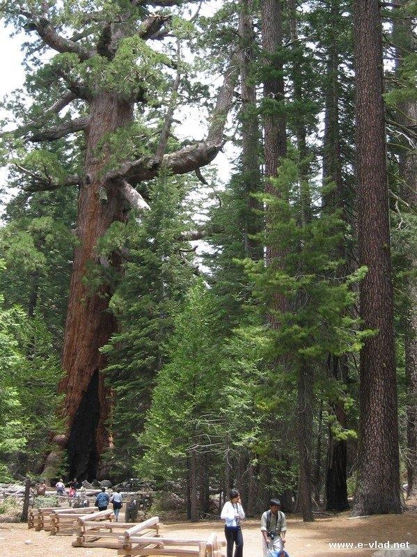Yosemite National Park, California - Large sequoia trees in the Sequoia Grove at Yosemite National Park