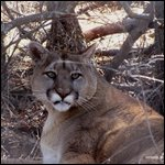 Pagosa Springs, Colorado - Mountainlion thumbnail.