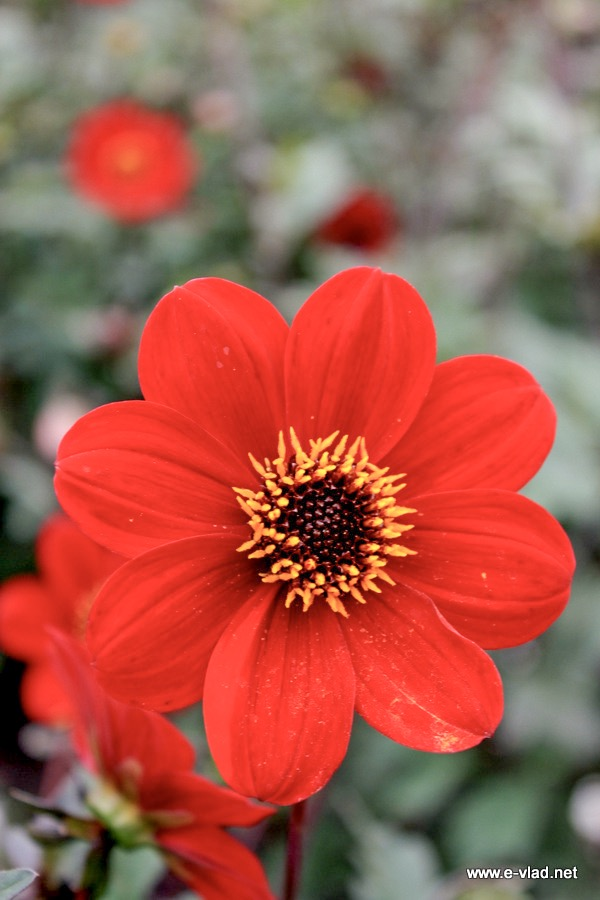 Chatsworth house england red flower with black and yellow center mightylinksfo