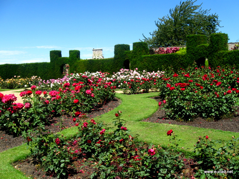 Rockingham Castle, England - Beautiful roses in the round Rose Garden.