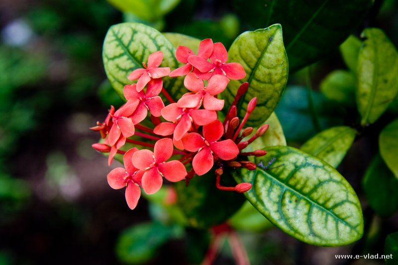 Maui, Hawaii - Beautiful red flowers with small petals.