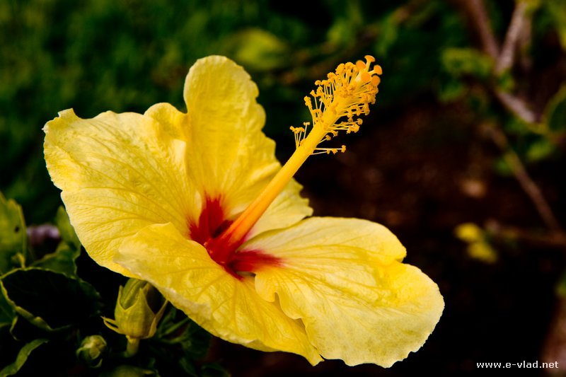 Maui, Hawaii - Beautiful larger yellow flower