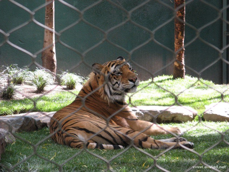Siberian tiger at The Secret Garden at Mirage, Las Vegas.
