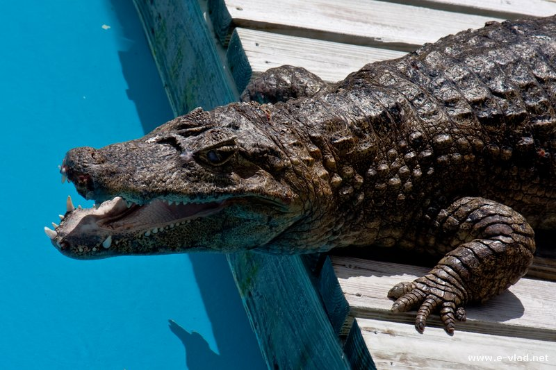 Alligator at Gatorland in Orlando, Florida.