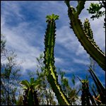 Scottsdale, Arizona - Curved cacti in the desert.