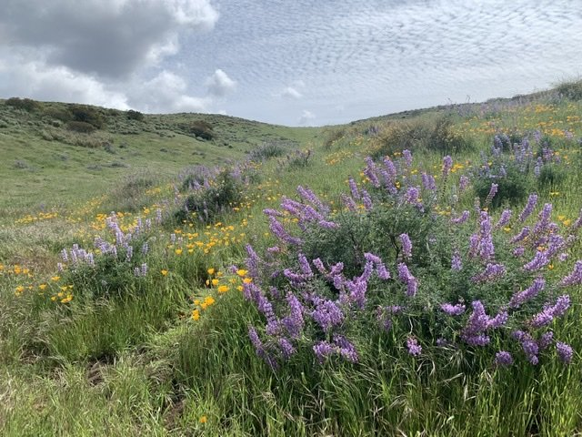 Wildflowers of Southern California at Point Mugu State Park